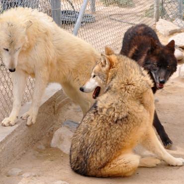 wolf-mountain-sanctuary-masthead