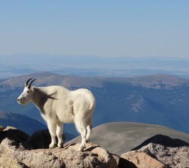 mount evans goat